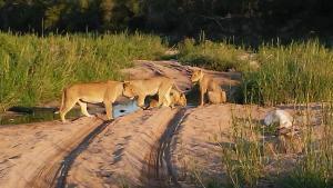 mama lions